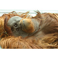 orang Utan monkey ape primate simian animal mammal nature wildlife