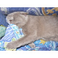 british shorthair cat feline animal pet family sleep