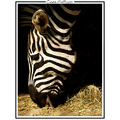 zebra animal zoo nature CH1988