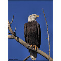 birds nature bald eagle