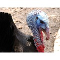 "The ""beautiful"" face of a male turkey lol ...just a few pics from our trip to the zoo yesterday"