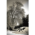 Blackandwhite BW Edit snow tree