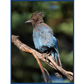 birds nature stellarjay