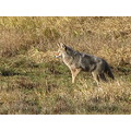 ShutterlySpectacularPhotography RidgefieldWildlifeRefuge Coyote