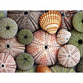 Sea shells urchins seaurchins kajjiek