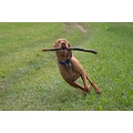 animal dog Vizsla HungarianVizsla MagyarVizsla Alvaro playing