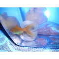 My goldfish! - I'm sorry for the quality of the photo (and for my bad english), I'll try to take ...