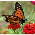 skoenlaper Monarch butterfly zinnias red