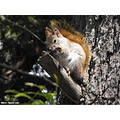 red squirrel animal tree eating