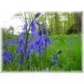 Alphabet Bluebell
