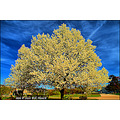 stlouis missouri us usa HDR spring blossoms tree sky exaggerate 040310