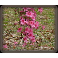 More Azaleas, different color.  The leaves on the ground are from a big White Oak.  The acorns fr...