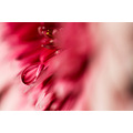 nature flower macro drop water reflections pink