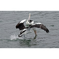 pelican bird animal nature wildlife reflection