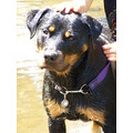 rottweiler dog animal pet
