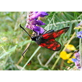 sixspottedburnetmoth Six Spotted Burnet Moth Insect Nature Macro