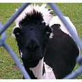 alpaca caption ssphotoshop