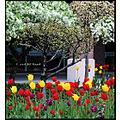stlouis missouri us usa landscape plants flower tulip yellow red bh 2008