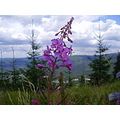 Giant mountains Krkonose august flower