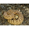 Large Great basin rattlesnake (male)