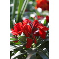 spring flowers bee color petzka beauty red