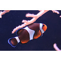 clown fish brighton sealife centre nemo
