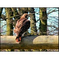 birds buzzard