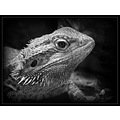Bearded Dragon black and white