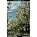 stlouis missouri usa spring seasons color tree flowers vibrant white 031812