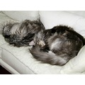 Cats Maine Coon sleep