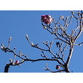 bluesky winter magnolia flower pink pinkfph