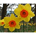 can not have a spring without the daffodils