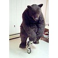 trained black bear bike riding animatronc bear suit