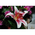 Flower Lilly Pink Bunch Tiger