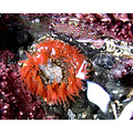 Orange Anemone AKA Swimming Anemone -  with Lined Chiton
