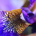 macro closeup iris blue flower nature