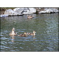 duck ducklings water pond lake wildlife nature family