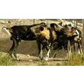 The Living Desert Animals Wild Dogs Pankey Wildspirit papagenasdogclub