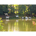 france cows river warm reflection