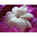 white rose pikake Hawaiian lei flower Jasmine
