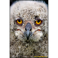 Captivelight miles herbert nature wildlife landscape owl owlet siberian eagle