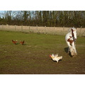 foal chickens field playing