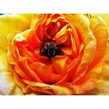 Alchemist Rose Yellow Orange Pink Insekt Closeup Skane Sweden June 2014