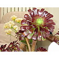 aeonium plant leaves
