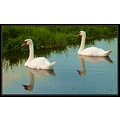 reflectionthursday swans