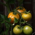 nature tomatoes