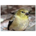 americangoldfinch bird nature