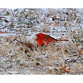 cardinels birds winter red bird mates winter outdoors