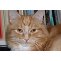 cat pet ginger furry fur cheek cheeky