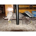 Sk8ta girl. Mum rolls in to keep an eye on one of her kittens.